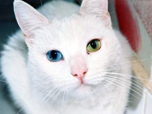 Gato com heterocromia.